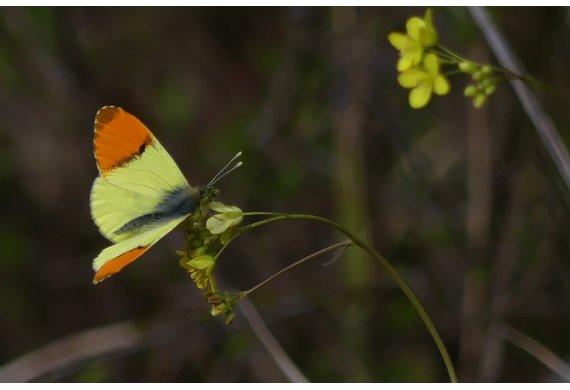Aurore de Provence mâle © Sophie Forot.png