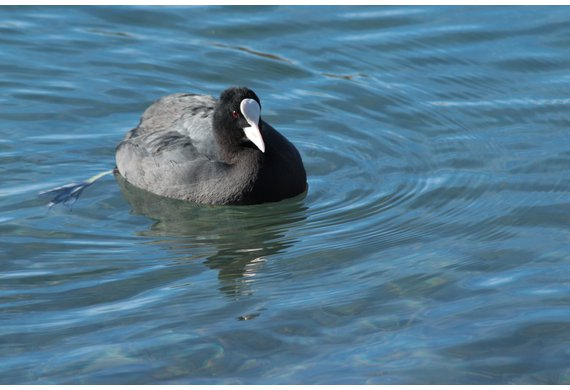 Foulque C Chauvet journée découverte oiseaux eau ARCHE Agglo.jpg